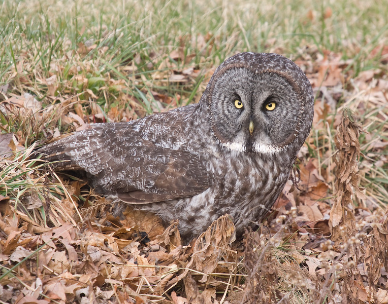 Great Gray Owl shortly after successfully pouncing on a vole.
