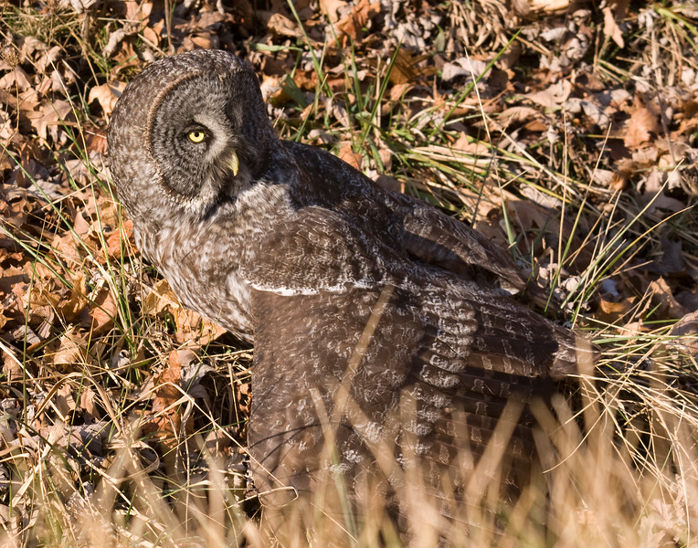 It was interesting to see the owl mantling it's kills. There were no other birds in the area, so is this standard procedure or a response to the crowd of onlookers?