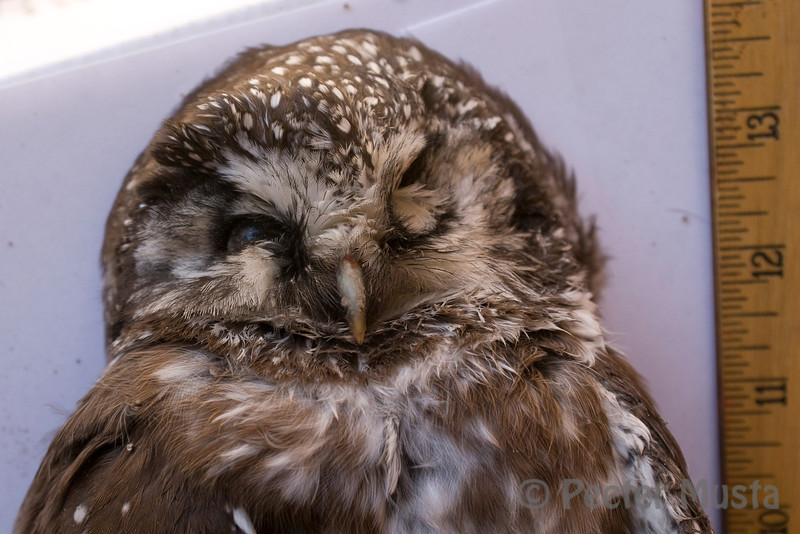 Eye still appeared clear, suggesting to me that this owl died earlier this morning.