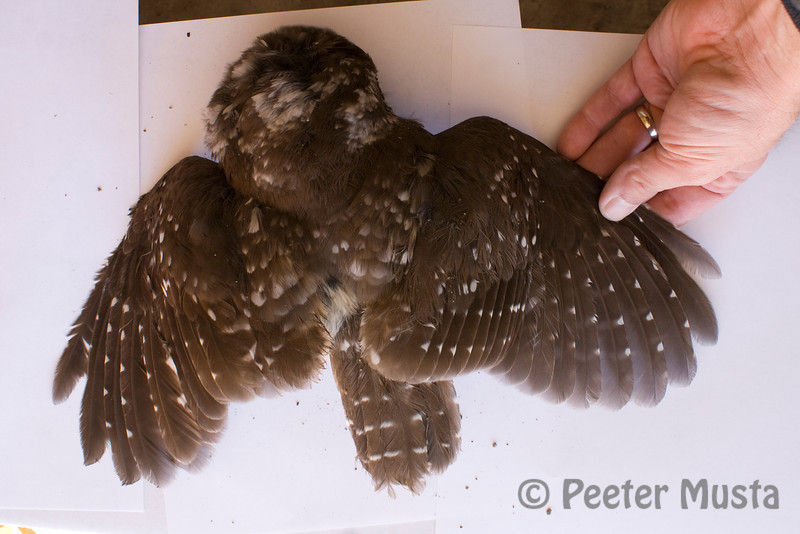 Probable female Boreal Owl, hatched in 2011.