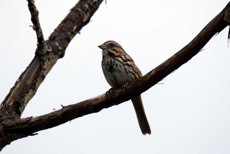 Song Sparrow <br /> <br /> Taken at Laurel Creek C.A