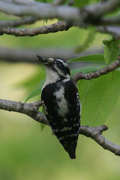 Male Downy Woodpecker <br /> <br /> Taken at Laurel Creek C.A
