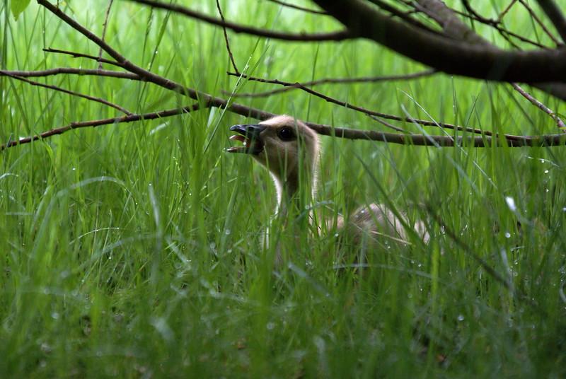 Lonely Gosling (Canada Goose)<br /> <br /> Taken at Laurel Creek C.A