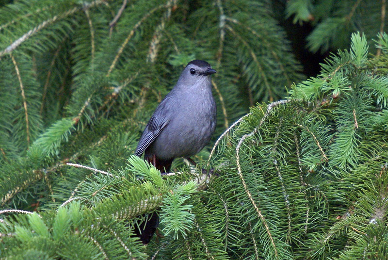 Grey Catbird <br /> <br /> Taken at Laurel Creek C.A