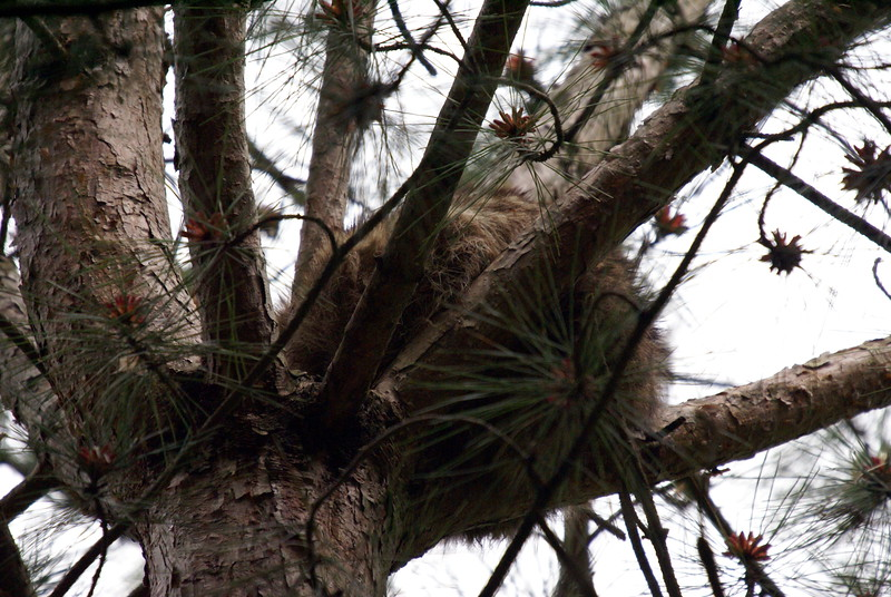 Sleeping Racoon.<br /> <br /> Taken at Laurel Creek C.A