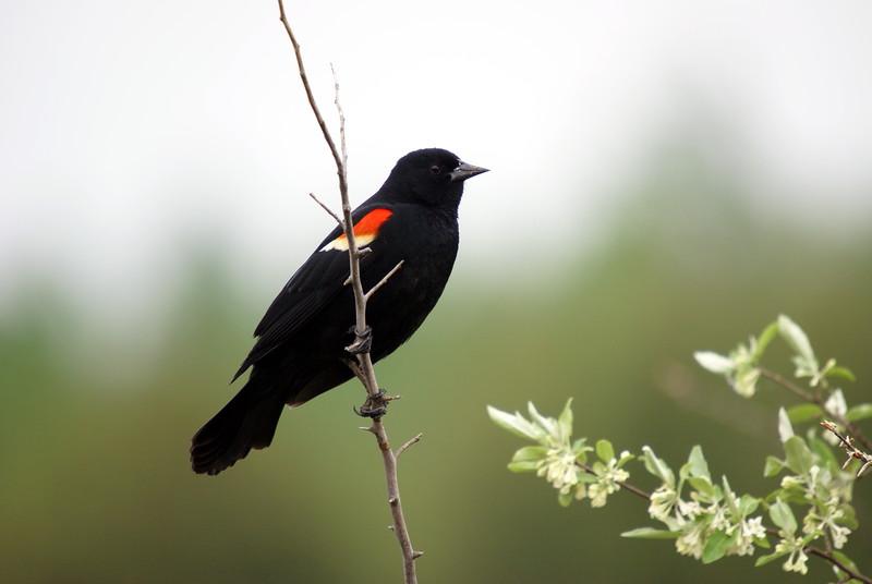 Red-wing Blackbird<br /> <br /> Taken at Laurel Creek C.A