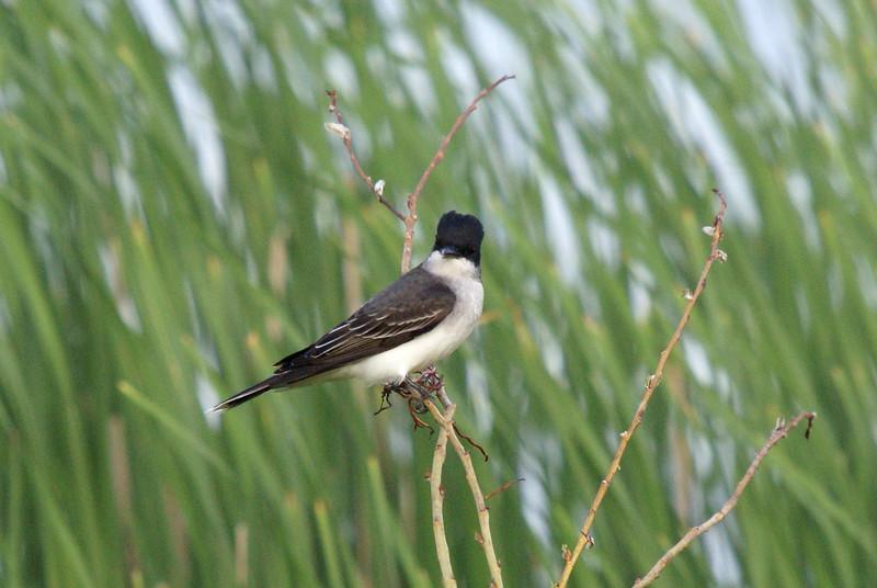 Eastern Kingbird <br /> <br /> Taken at Laurel Creek C.A
