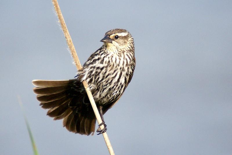 Female Red-wing Blackbird<br /> <br /> Taken at Laurel Creek C.A