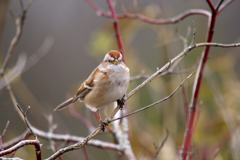 American Tree Sparrow.<br /> <br /> Photo taken at Lanier Trail in Cambridge, ON.