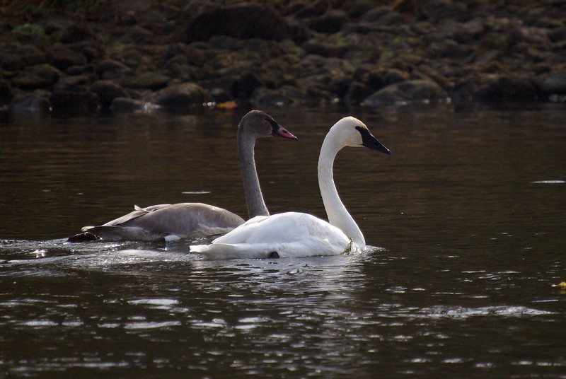Mature and Immature Trumpeter Swans