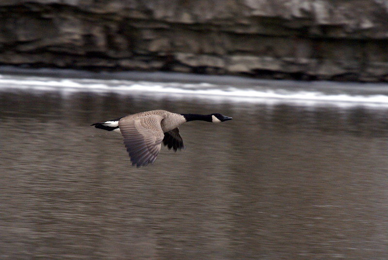 Canada Goose in Flight<br /> <br /> taken January 5, 2008