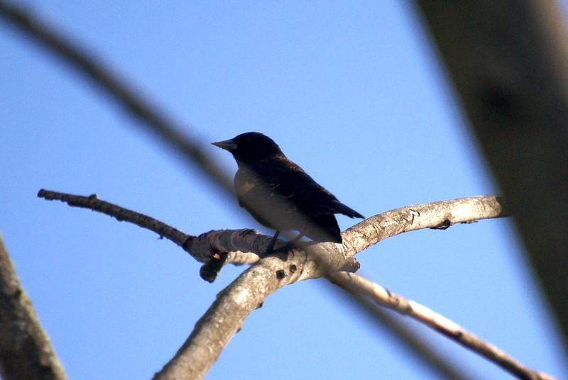 Immature Red-wing Blackbird