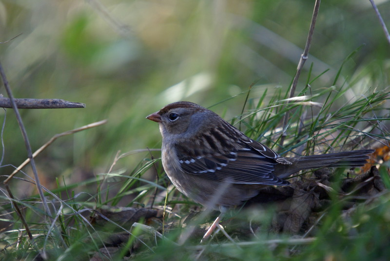 Hatch-year White Crowned Sparrow