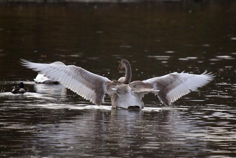 Immature Trumpeter Swan