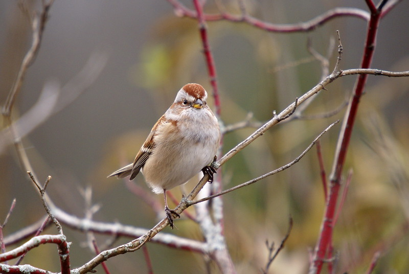 American Tree Sparrow.<br /> <br /> Photo taken at Linear Trail in Cambridge, ON.