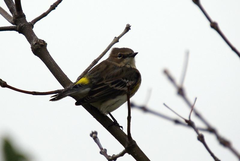 Yellow Rumped Warbler in Fall Plumage