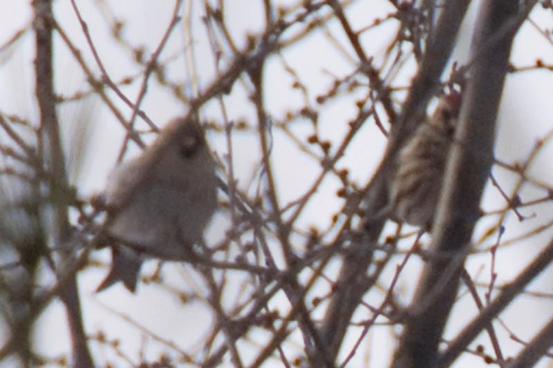 Hoary Redpoll #1 (left), Common Redpoll (right).
