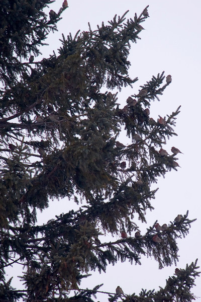 42 House Finch in One Tree....a where's waldo of birding. I had originally conservatively estimated 24 birds.