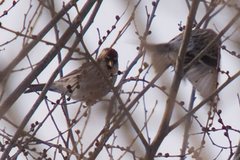 Hoary #2? (left bird)