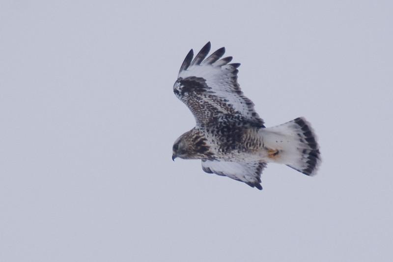 Light Morph Rough-legged Hawk