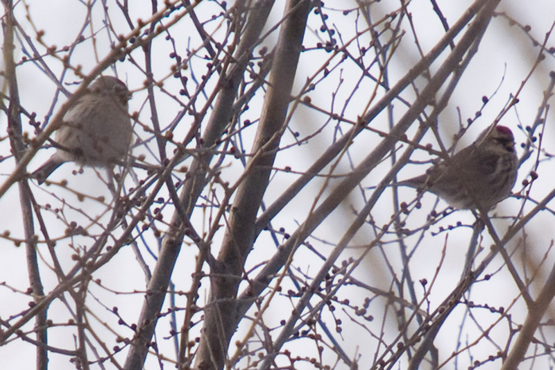 Hoary Redpoll #1 (left), Common Redpoll (right)