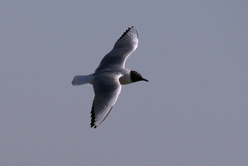 bonaparte's gull @ Port Dover