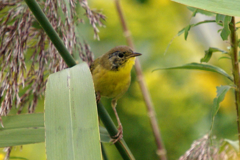 Immature male common yellowthroat.