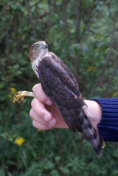 Sharp-shinned Hawk - our smallest raptor.