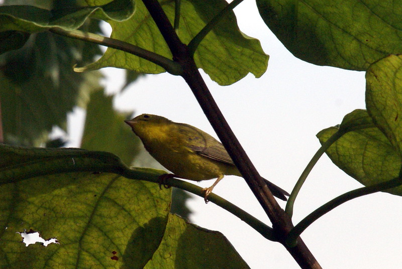 Wilsons warbler long point