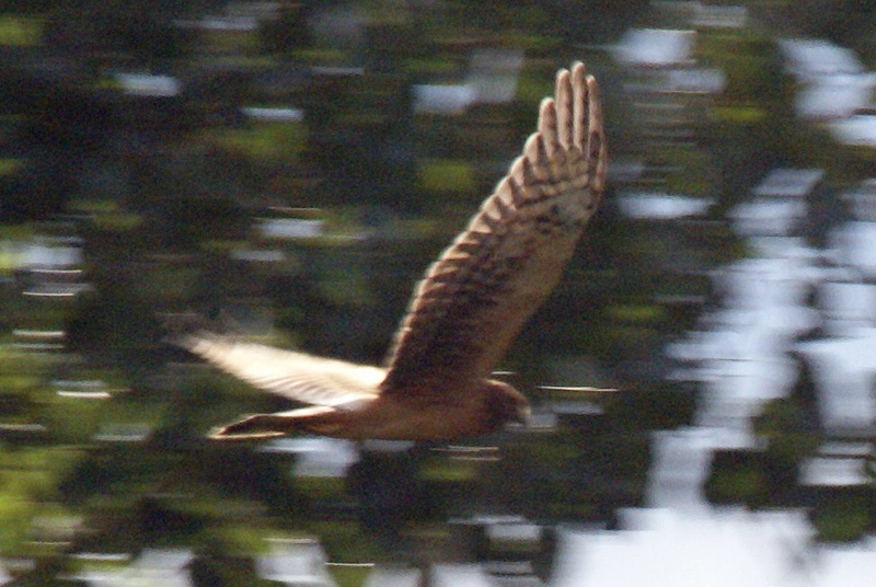 Nothern Harrier