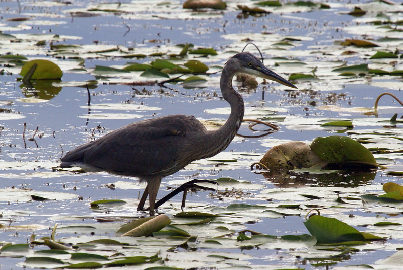 There were many Great Blue Herons feeding in the marsh areas. You had to watch your step to avoid leopard frogs....so I don't imagine dinner took long to catch.