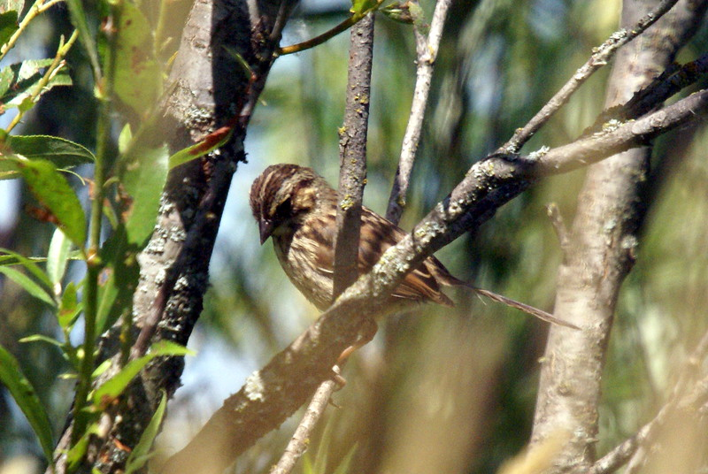 Juvenile Swamp Sparrow