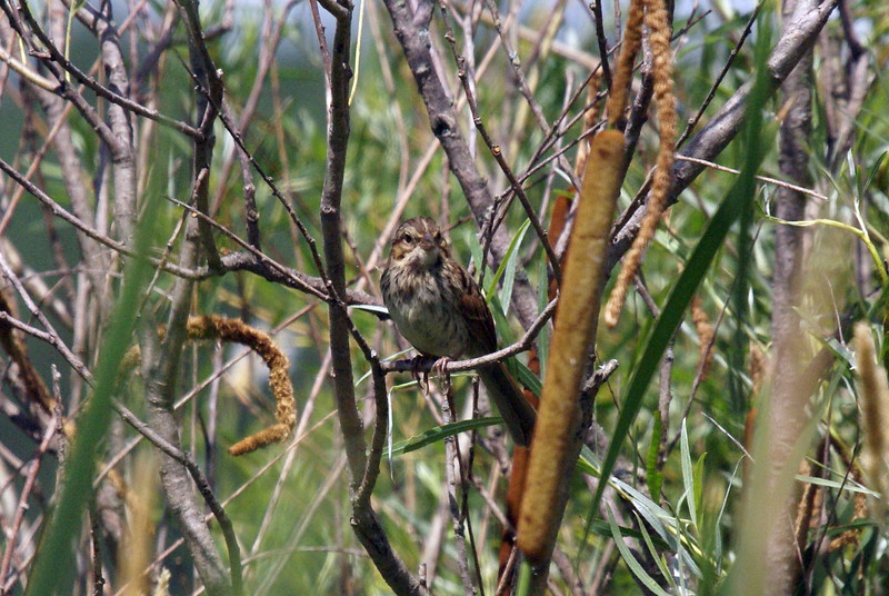 Juvenile Swamp Sparrow
