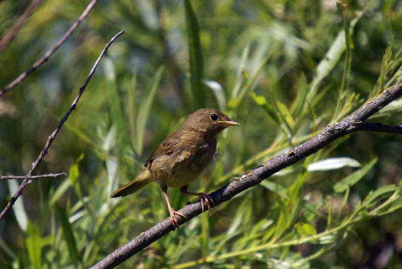 Immature female common yellowthroat.