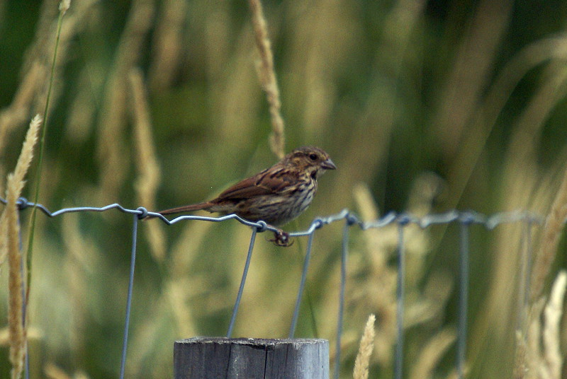 Juvenile Song Sparrow.  Luther Marsh Wildlife Management Area.