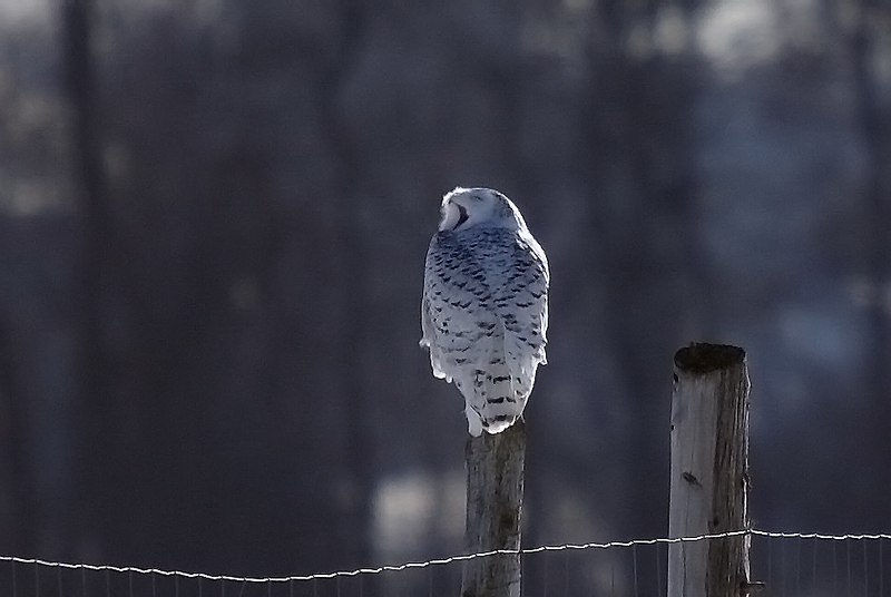 Snowy Owl yawning in the late afternoon sun.