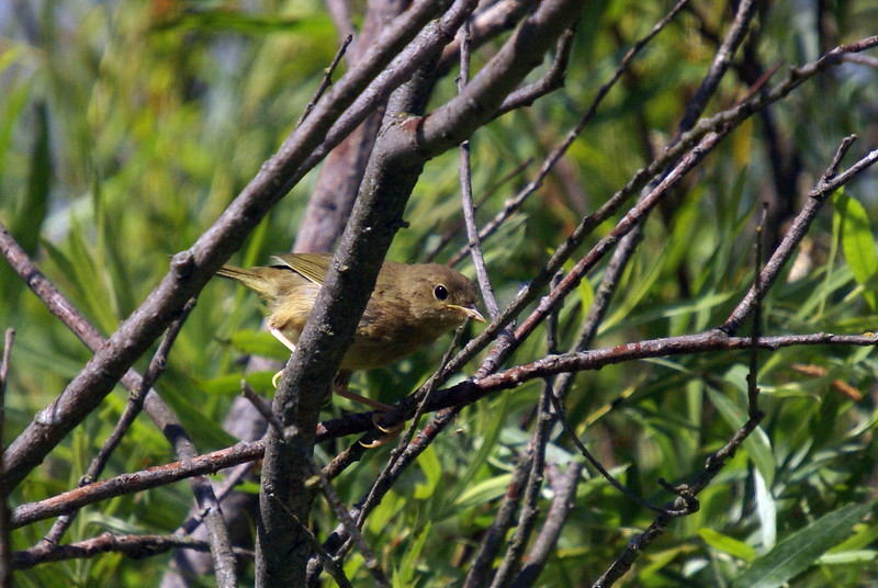 Immature female common yellowthroat
