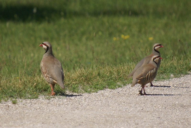 Chukar<br /> <br /> Non-native Species introduced to Canada for the purposes of hunting. However, these are wild birds.
