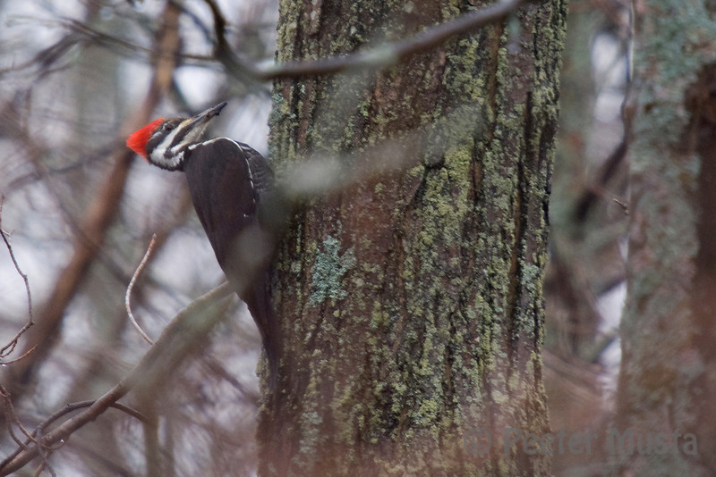 Pileated, Hairy and Northern Flicker were the only Woodpeckers i was able to track down, was hoping for some boreal species on the western portion of the island....maybe next time.