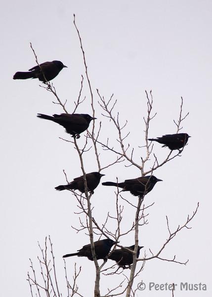 """Tree of """"Blackbirds"""""""