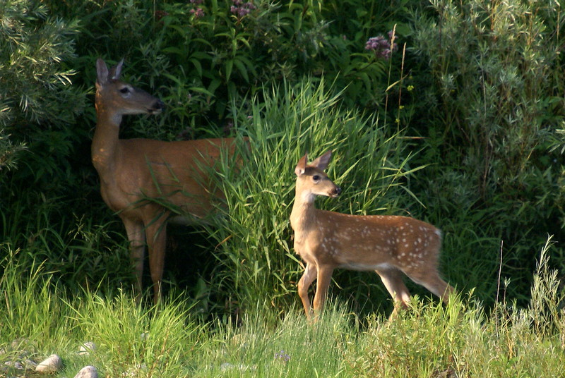 Our first set of wild deer along the Grand River!