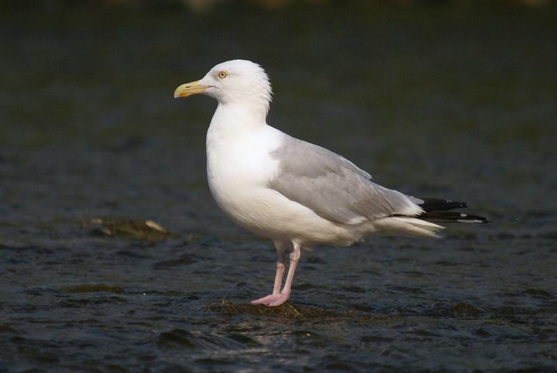 Herring Gull i believe