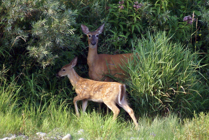 Doe and Fawn White-tailed Deer