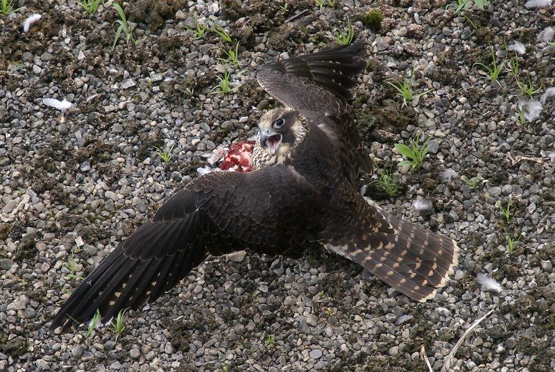 Juvenile Peregrine Falcon mantling over lunch (Pigeon/Rock Dove)