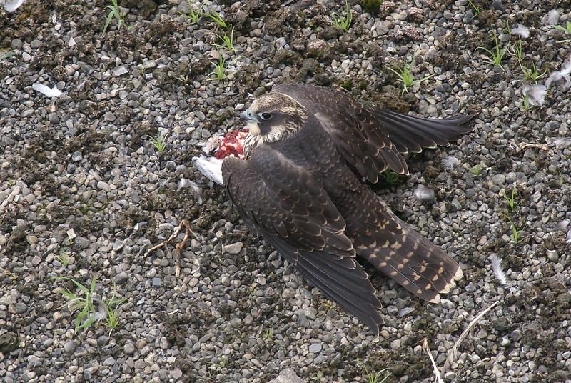 Juvenile Peregrine Falcon mantling over prey
