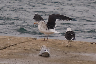 Great Black-backed Gull - December 2011