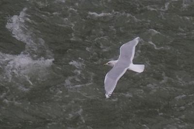 Iceland Gull - Adam Beck - December 2011
