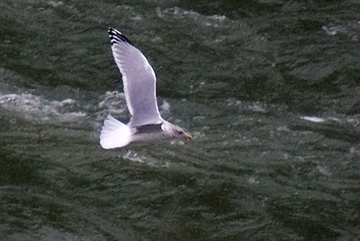 Adult Thayer's Gull - Sir Adam Beck Overlook