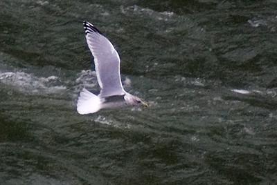 Adult Thayer's Gull - Sir Adam Beck Overlook