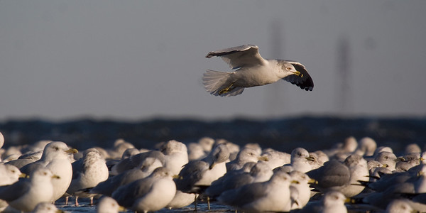Ring-billed Gull coming in for landing.